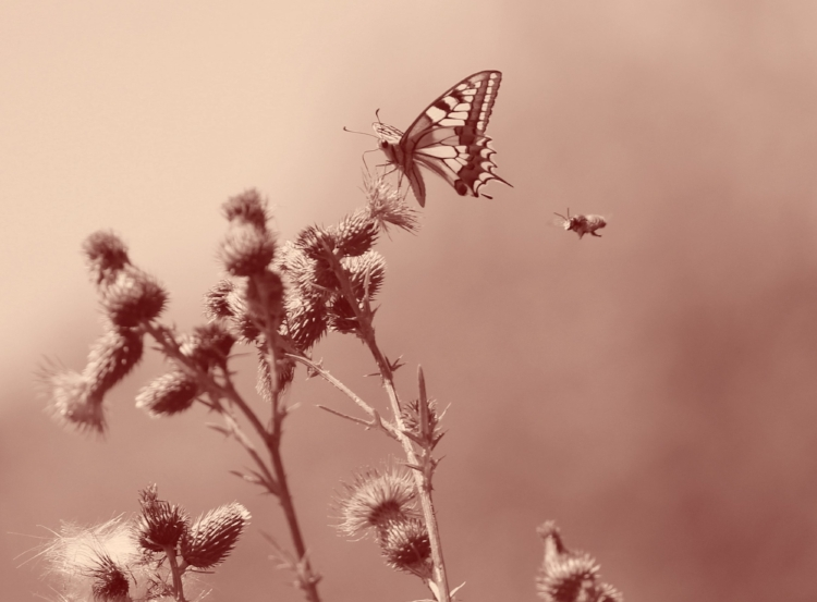 Deux pollinisateurs Photo Anne Beringuer
