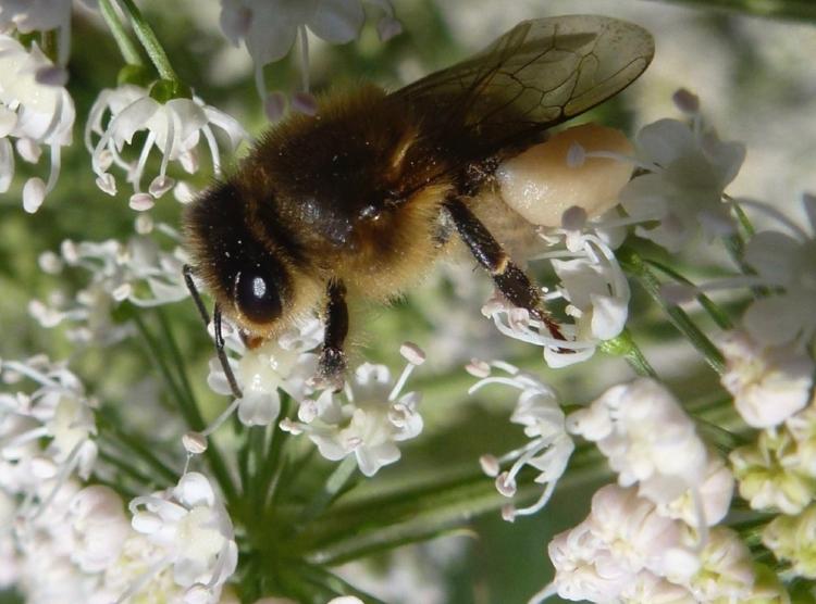 Abeille chargée comme un bourricot, corbeille chargée de pollen blanc.