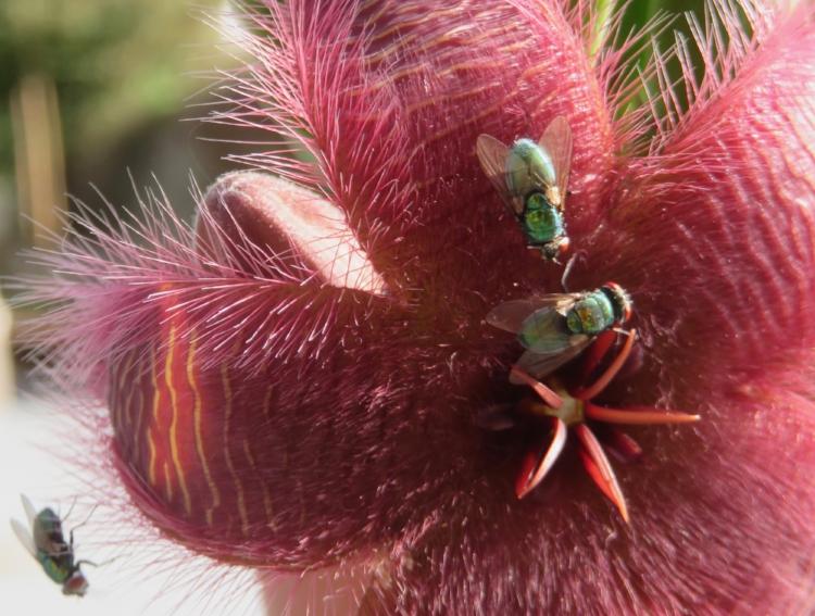 Cette magnifique Stapelia pue : sitôt éclose, elle attire de magnifiques mouches à merde, qui se dépêchent de pondre dans ses poils, en pure perte. Les asticots n'y trouvent rien à manger.