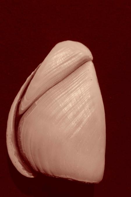 Fruit de mer. Anatife