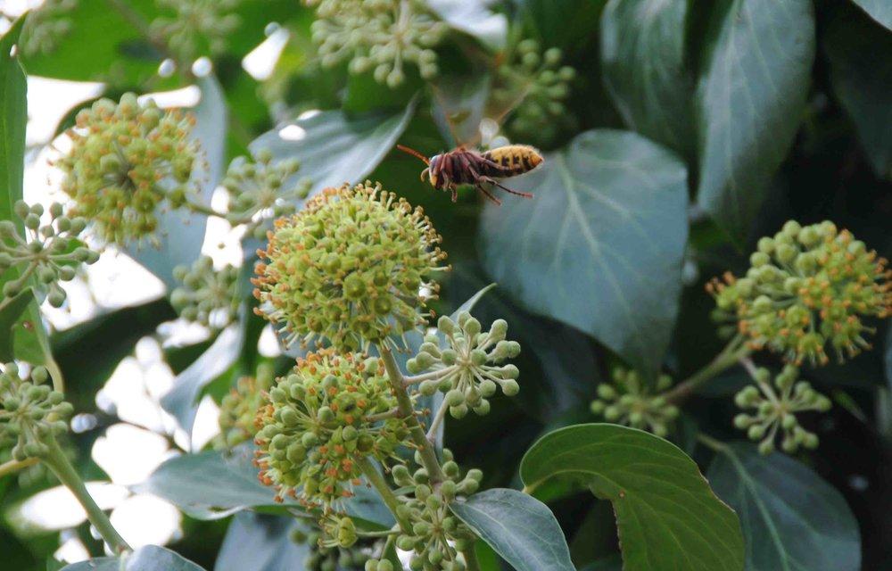 Frelon local sur fleurs de lierre, en automne.