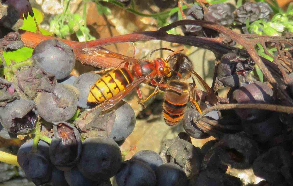 Baston de frelons sur raisin de septembre : le gros jaune, notre local contre le noiraud, asiatique, notre code couleur en prend un coup !