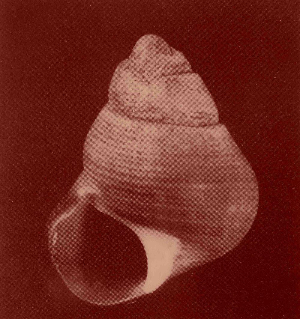 Le seul spécimen de bigorneau connu ayant la spirale tournant vers la gauche : museum d'histoire naturelle de Londres. Des millions d'exemplaires ont été observés par de nombreux naturalistes : leur coquille s'entoure toujours vers la droite.