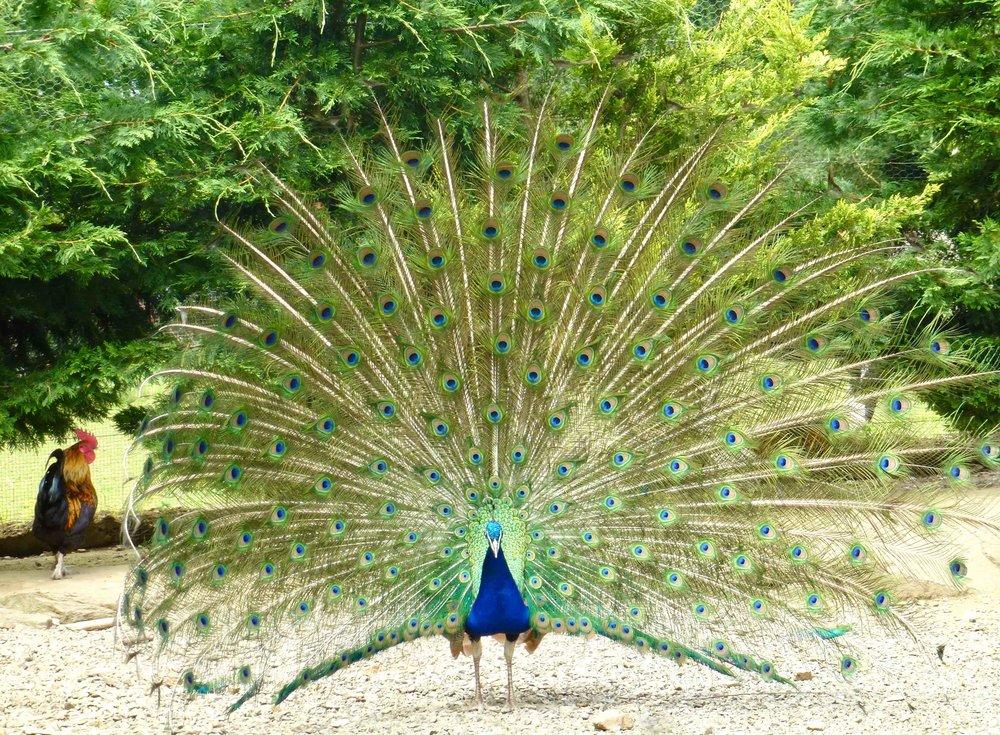 Le paon est incontestablement un chef d oeuvre de beauté ostentatoire. Le coq gaulois à côté peut aller se rhabiller, avec son plumage pourtant somptueux, ses crêtes qui en jettent, et son cri puissant.