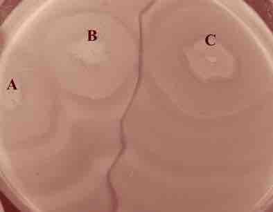 Observez cette extraordinaire ligne de démarcation : trois colonies bactériennes; A,B,C. A et B se mêlent, elles sont identiques. La souche C, de la même espèce bactérienne, est légèrement différente. Une ligne de démarcation s'établit, c'est le phénomène de Dienes. Facile à observer avec les Proteus, qui sont des bactéries très mobiles. Même de misérables bactéries un poil différentes ne se fréquentent pas ! Des tissus différents ! Des espèces différentes !