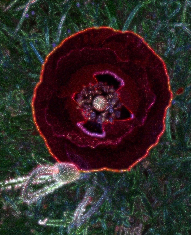 Fleur d'ordinateur Papaver rhoeas ordinati