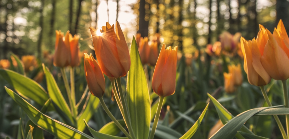 Tulips sunrise.jpeg