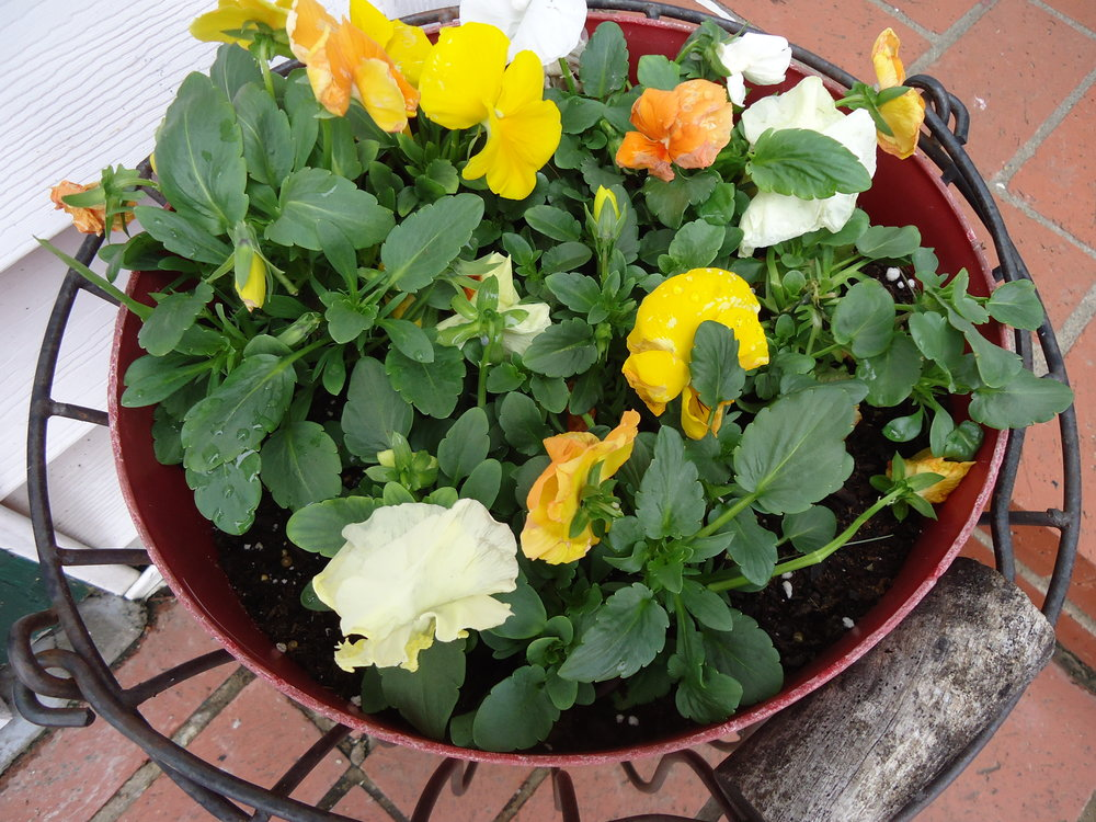 The pansies are in!.JPG