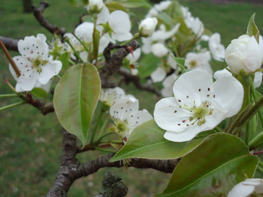 The Pear Tree in Full  Bloom.JPG
