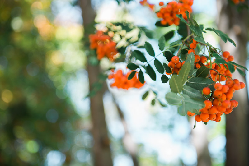 Background photo of orange berries in a tree