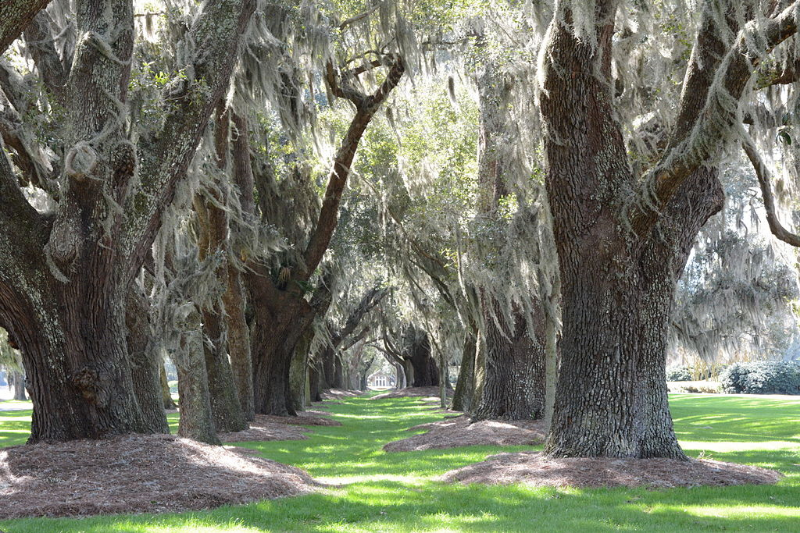 The Avenue of Oaks on St. Simon's Island. Image Credit:  Bubba73 (Jud McCranie)  via  Wikimedia Commons   cc