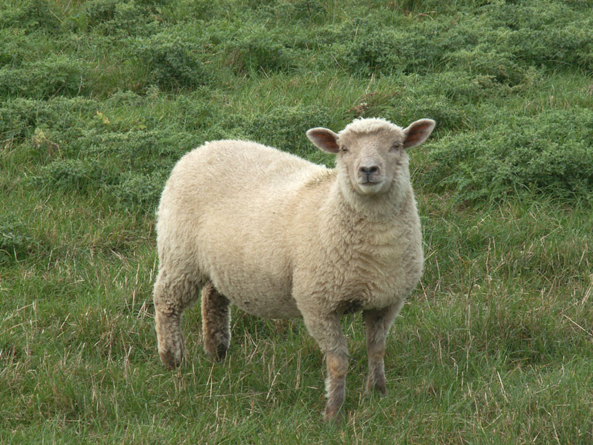 butcher-lambs.jpg