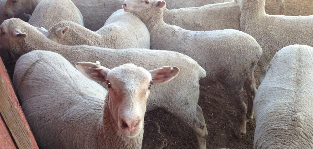 ewe-lambs.JPG