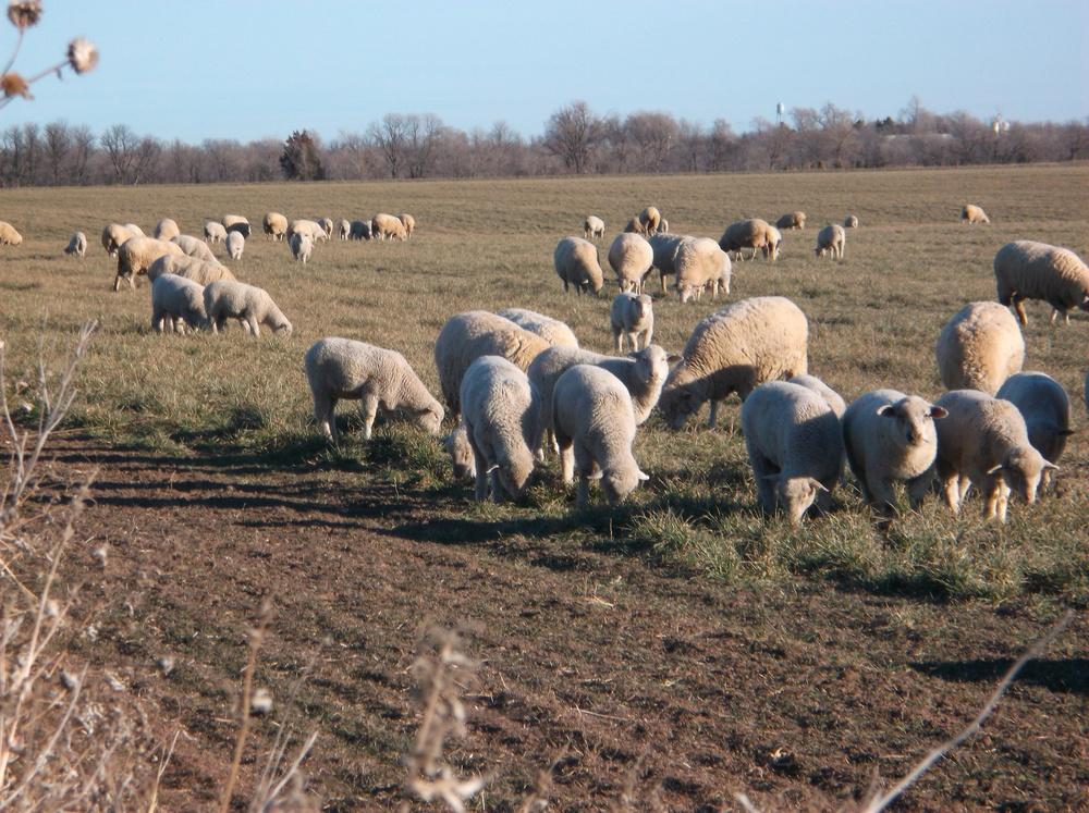 feeder-lambs.jpg