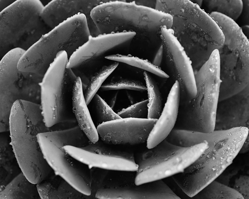 Jarren vink succulent plant black and white photographer still life art studio new york photo photography