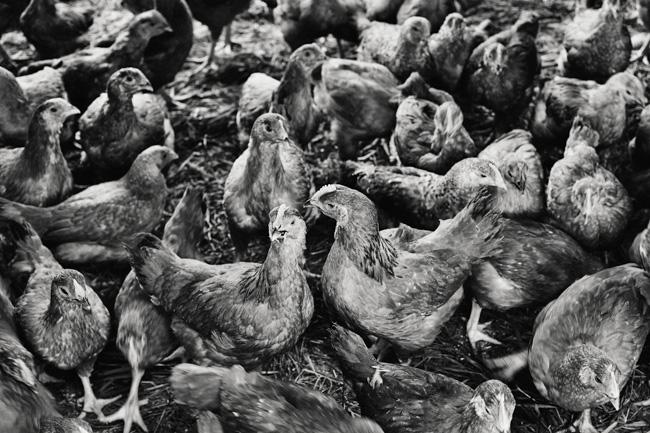 jarren vink glynwood organic farm farmer farming chicken