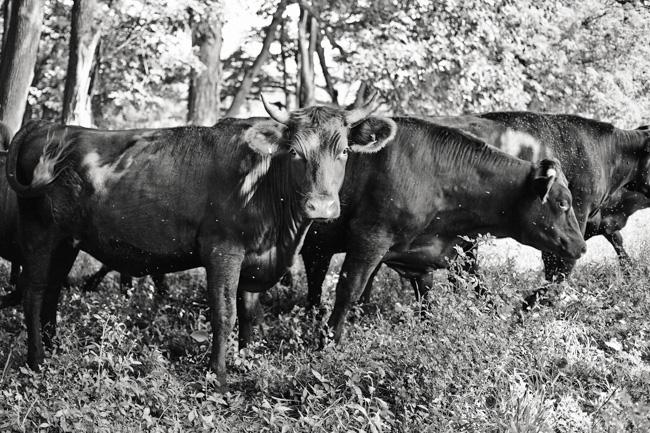 jarren vink glynwood organic farm farmer farming cow