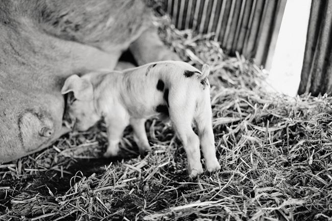 jarren vink glynwood organic farm farmer farming piglet pig