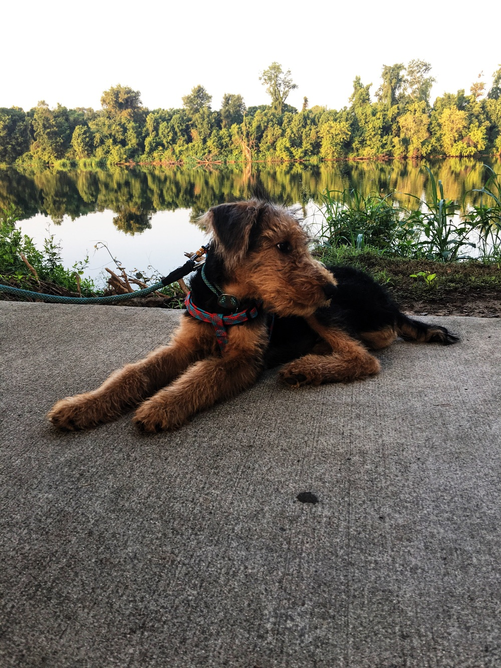 Airedale on the River