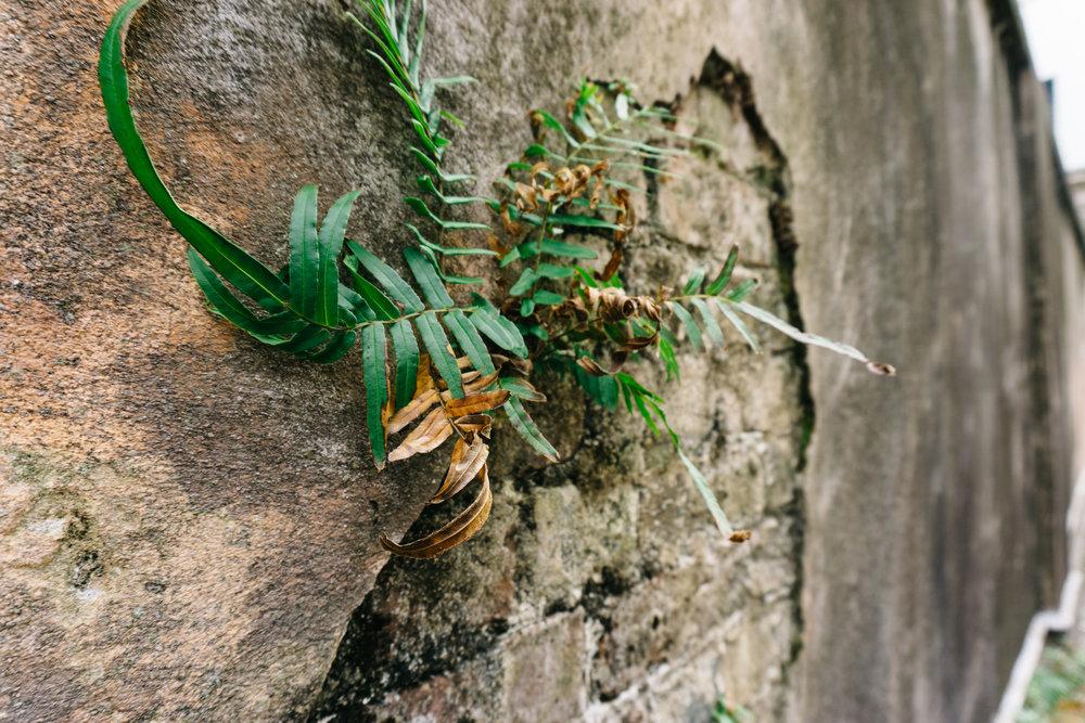Fern growing in a wall in Charleston