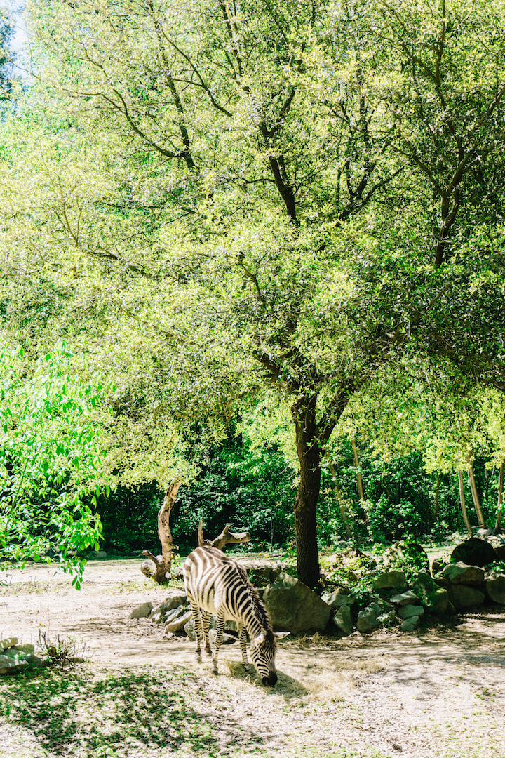 Zebra at Riverbanks Zoo