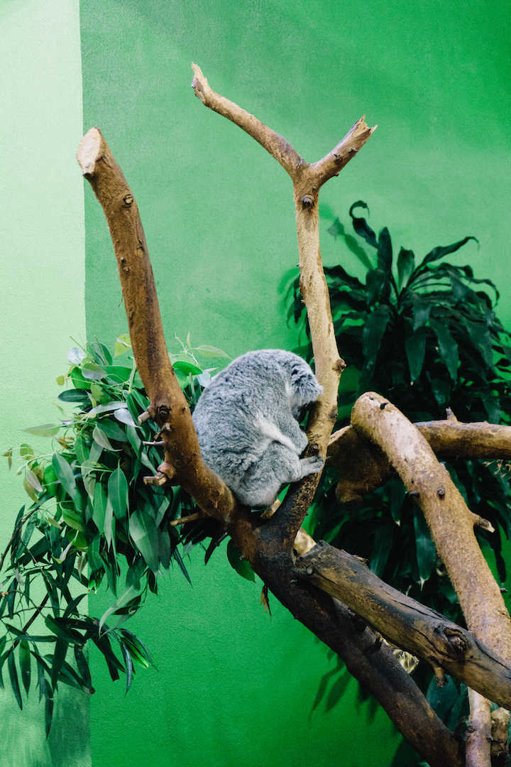 Koala at Riverbanks Zoo