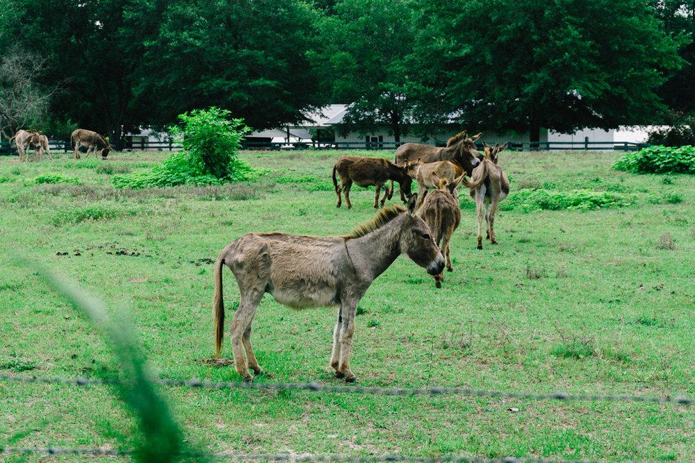 Donkey near Gilbert, SC