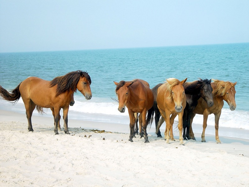 assateague ponies.jpg