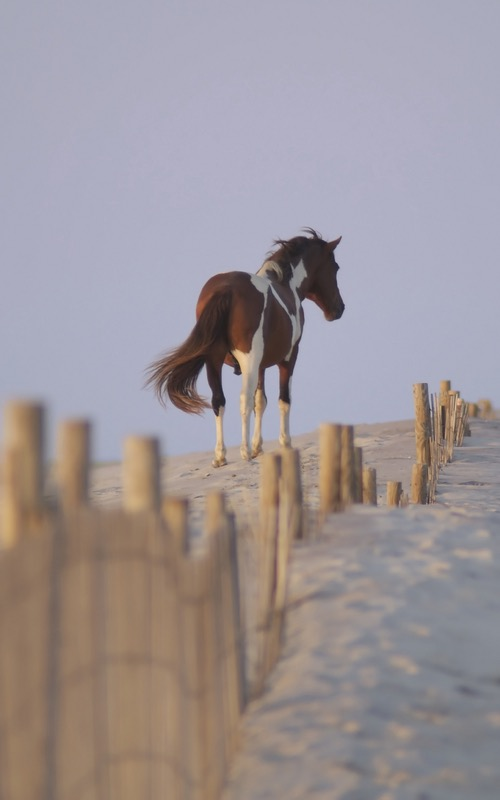 assateague pony from rear.jpg