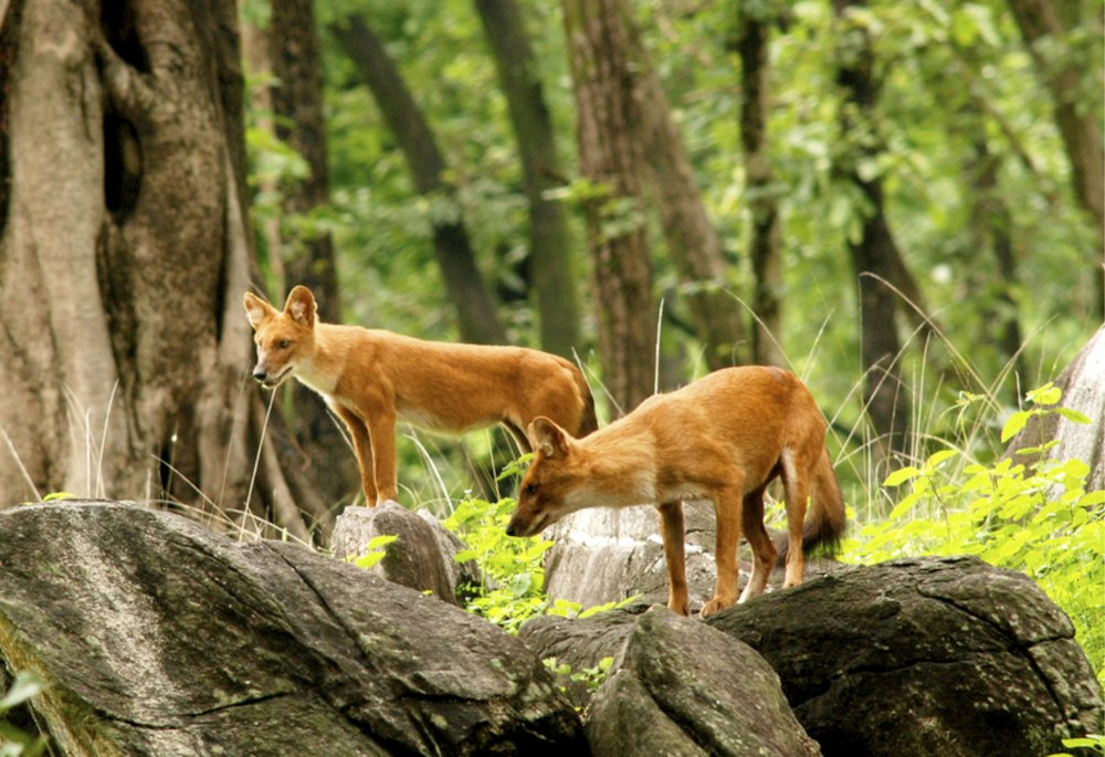 Indian wild dogs.1.jpg