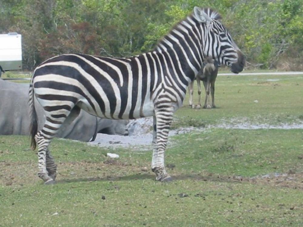 Zebra stance.jpg