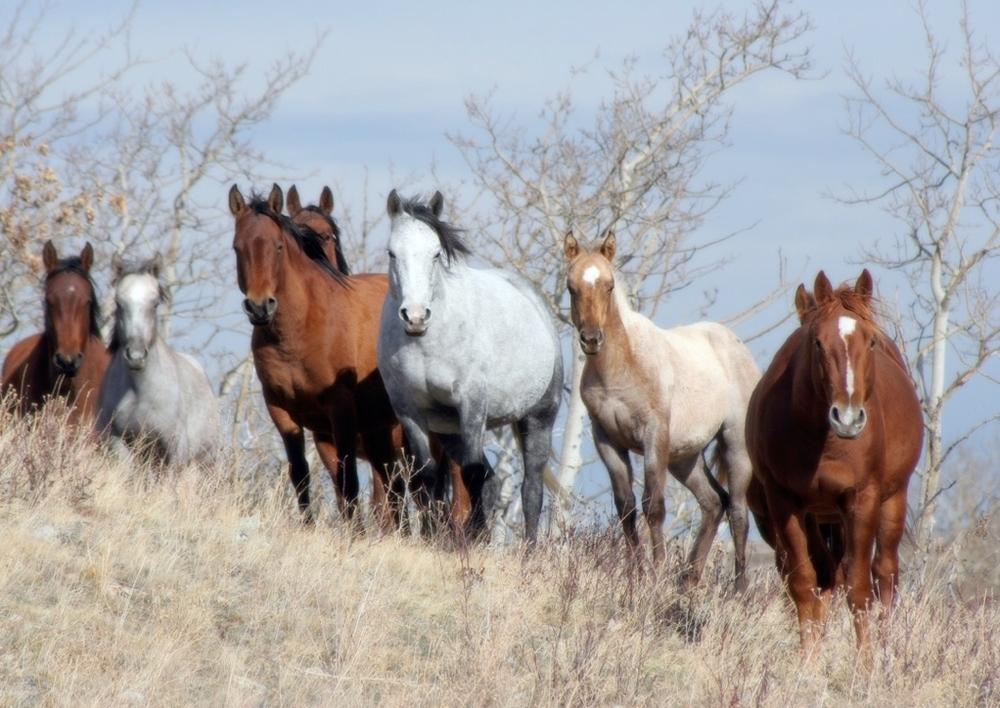 wild horses in dry grass.jpg