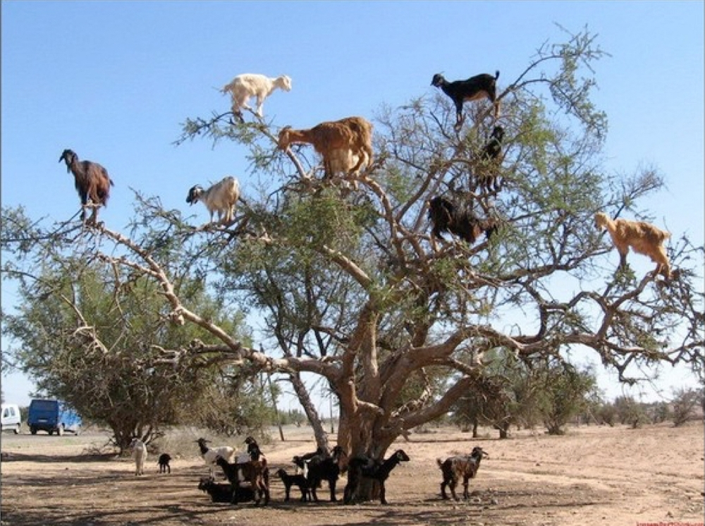 goats in tree.jpg