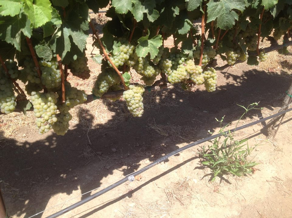 Riesling at Tondre Grapefield