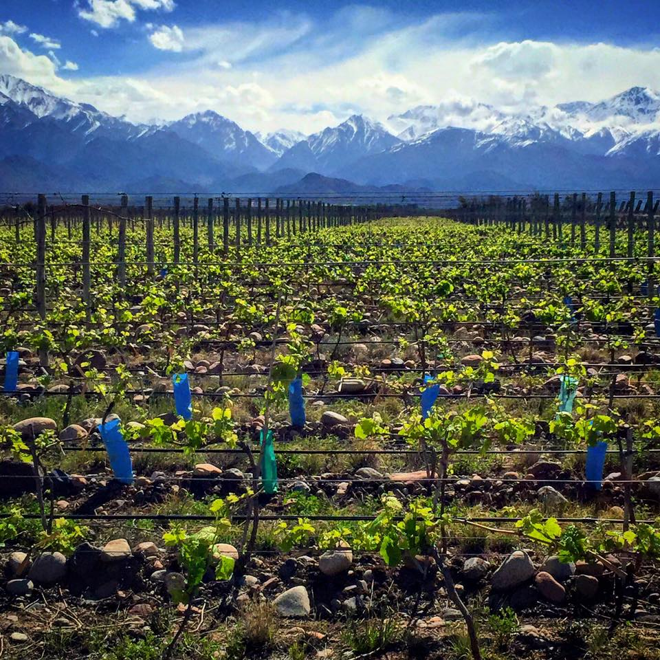 Vines of Mendoza Vineyard.jpg