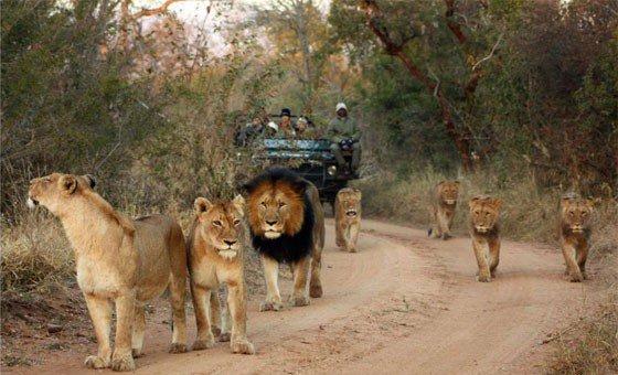 karongwe lions.jpg