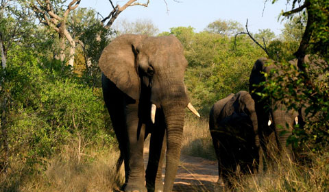 karongwe-shiduli-elephants-480.jpg