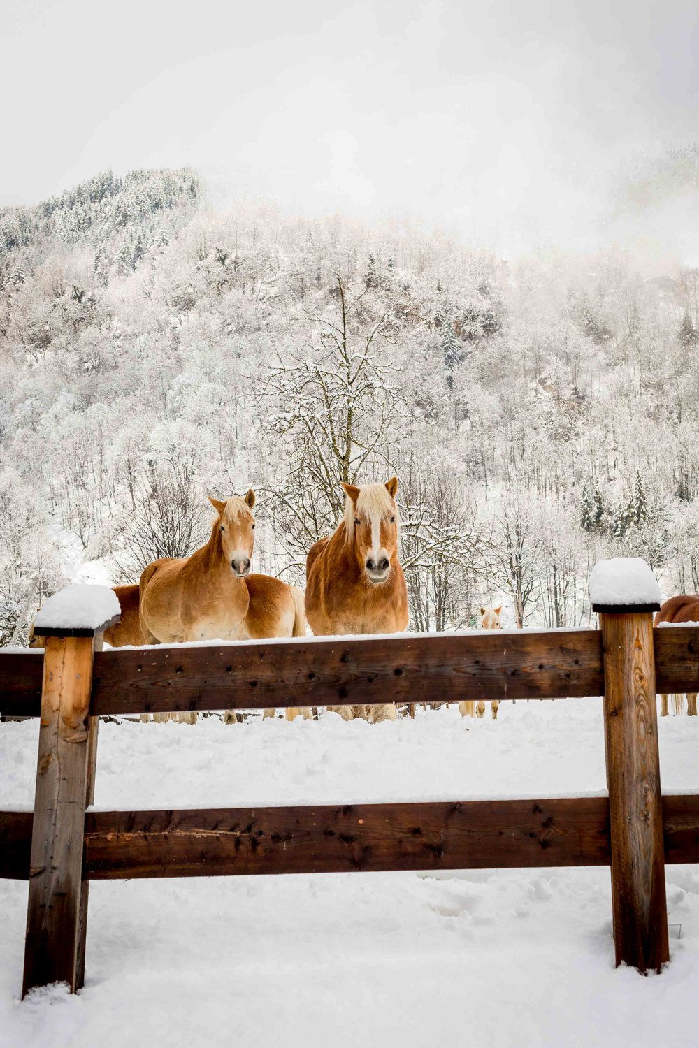 horses in field of snow travel austia.jpg