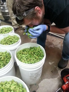 A few buckets of fresh Cascade hops