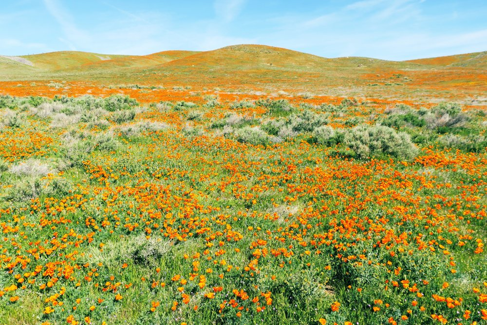 poppies july 5.jpg