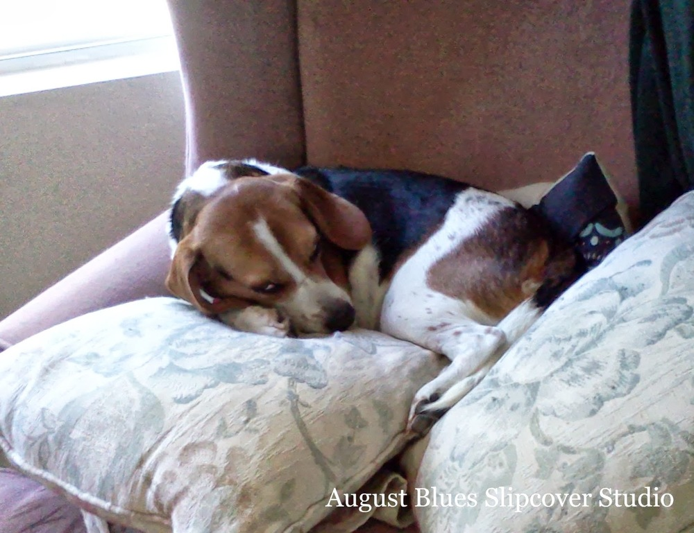 August Blues - beagle