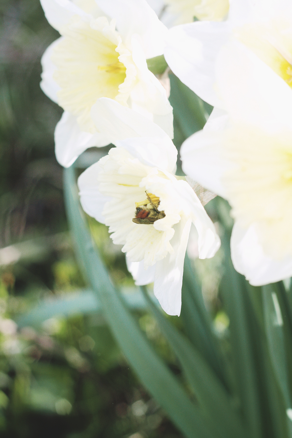 Honey Bee on a Daffodil | Spirit de la Lune