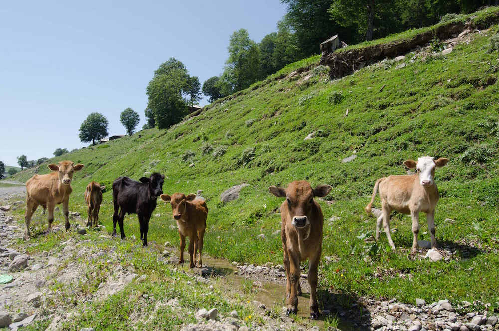 cows in batumi, Georgia.jpg
