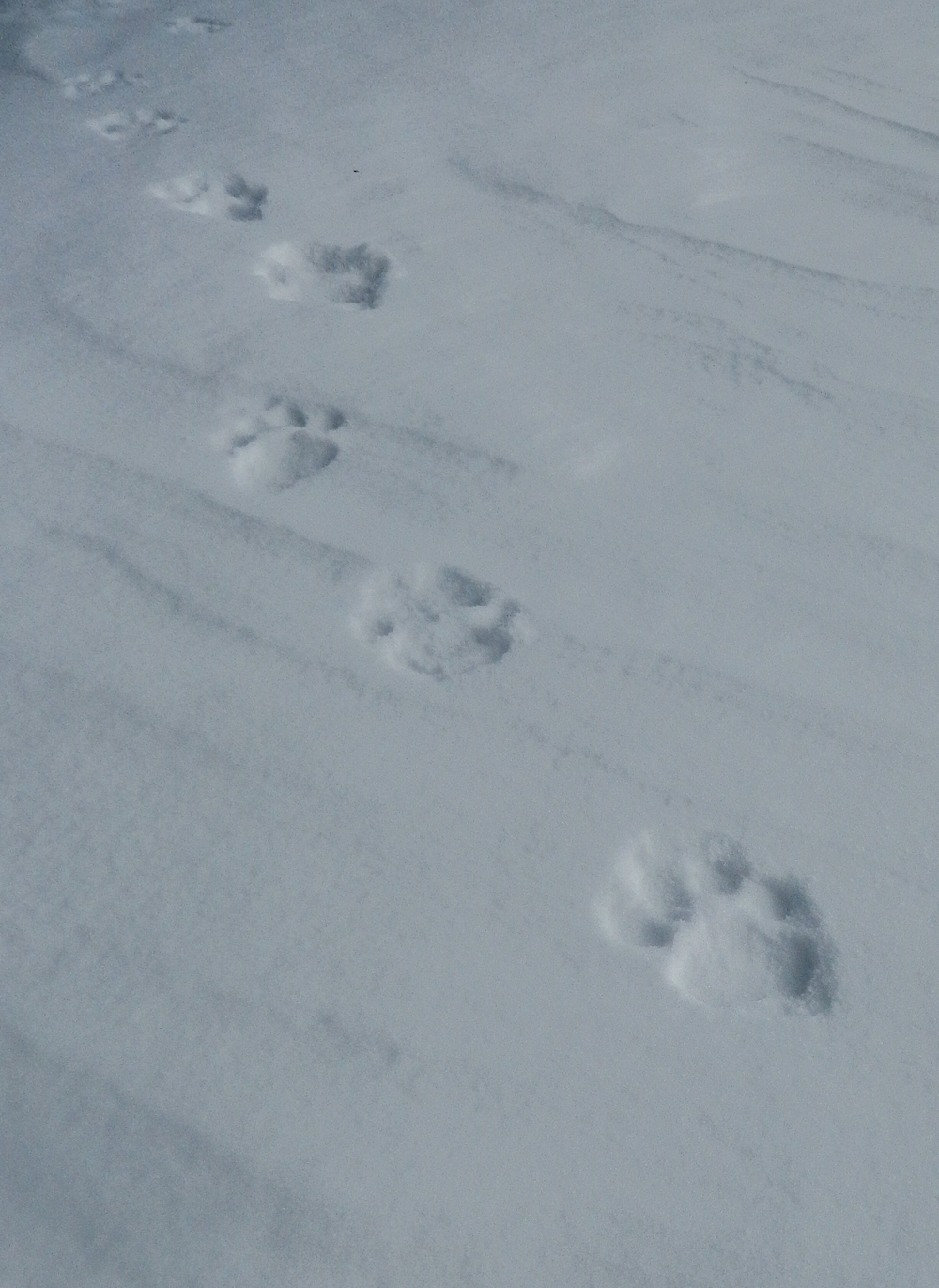 Snow Leopard tracks near high camp