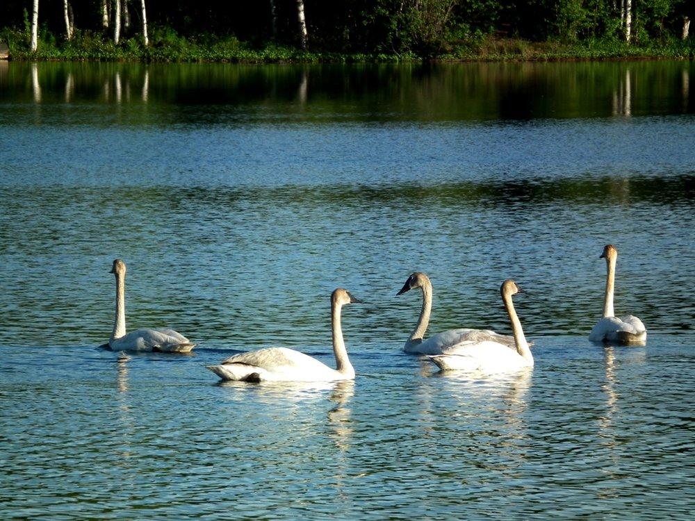 Oasis swans.jpg