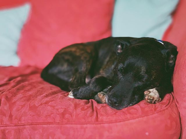 Sleepy pup. Who says Staffies aren't cute?