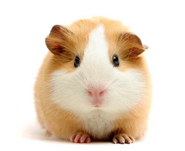 Guinea pigs are cuter than I thought...