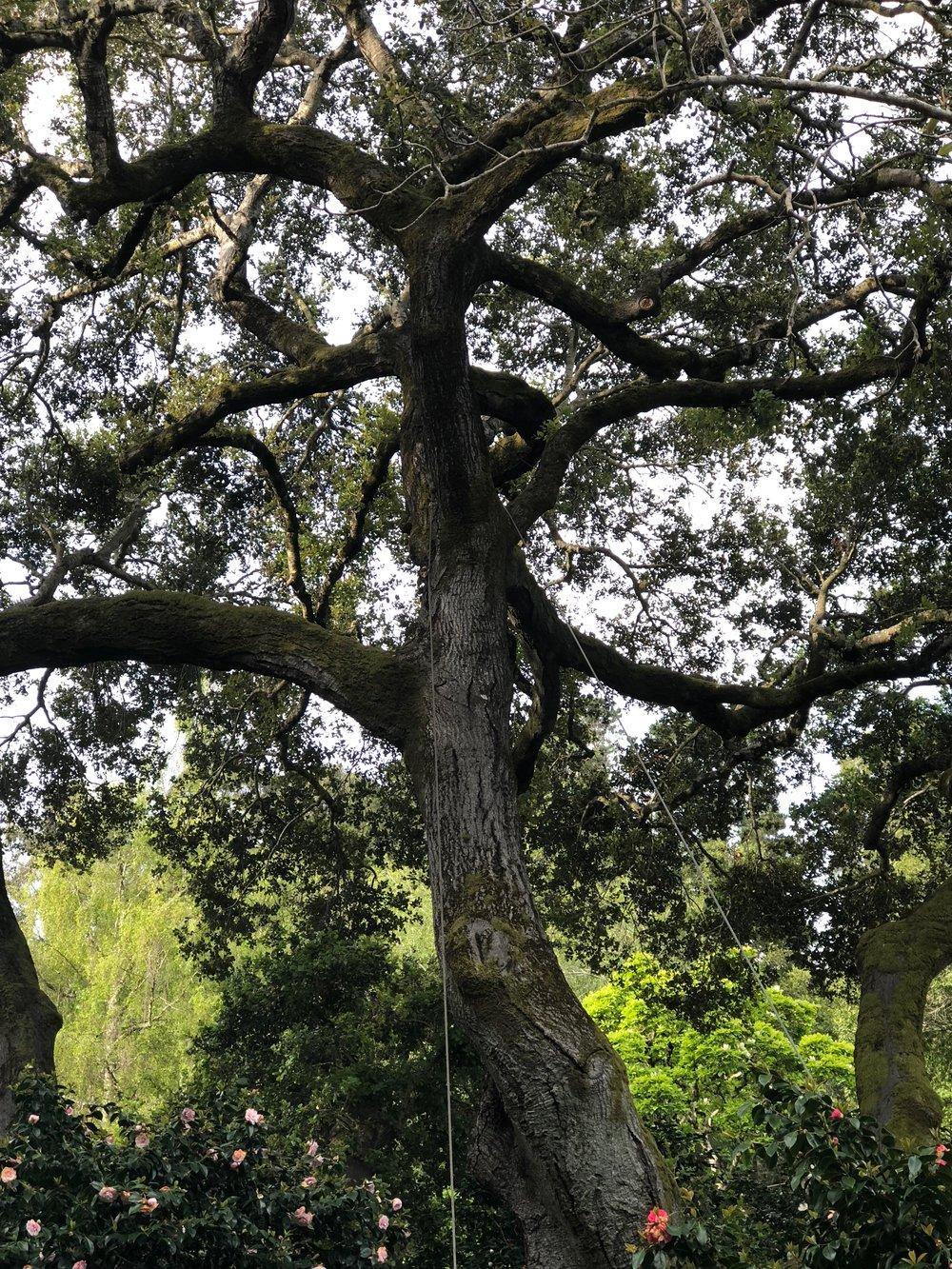 Susan's LIve Oak2.jpg