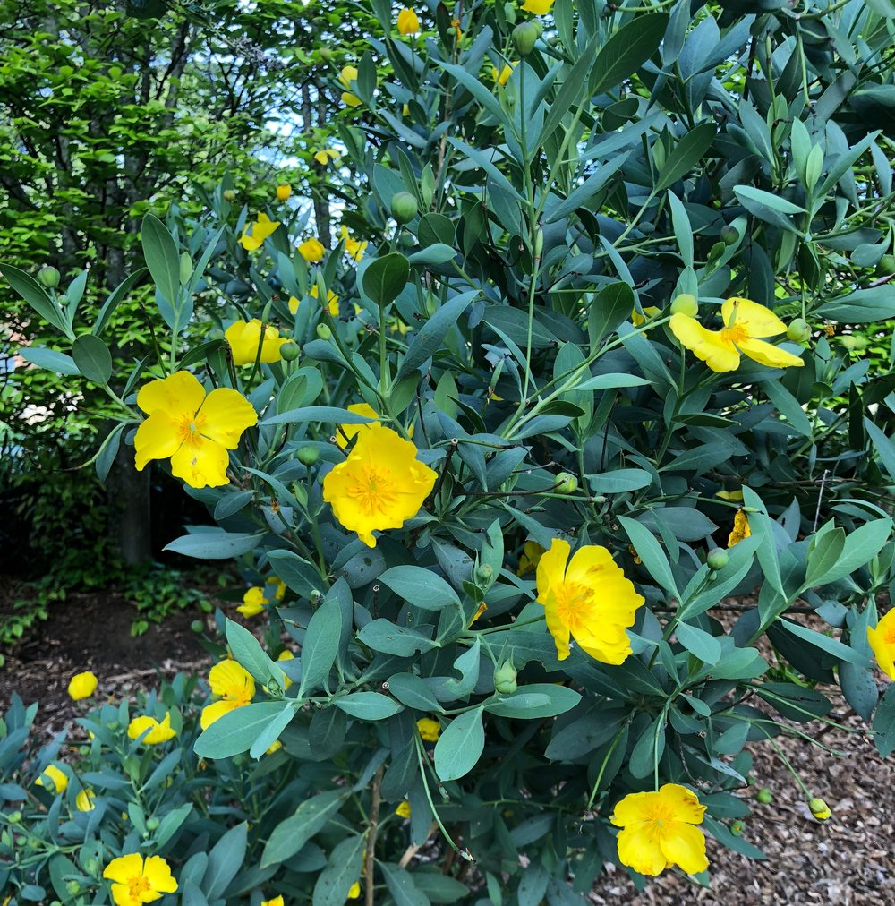 Diana's Catalina Island Bush Poppy.jpg