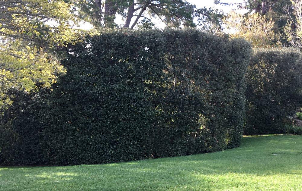 Maryellie Holly Oak hedge.jpeg